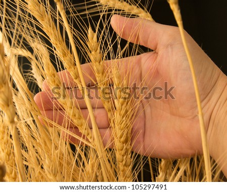 Wheat in a hand on a black background