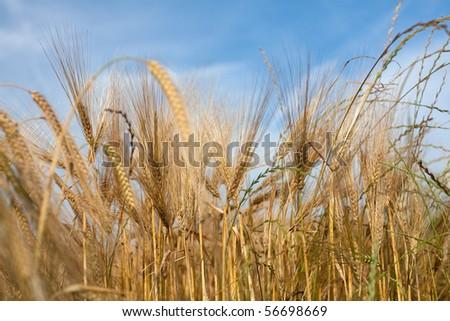 wheat in evening light - stock photo