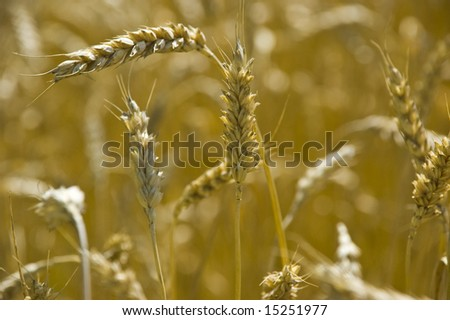 wheat in field in Ukraine