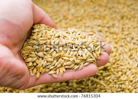 wheat in  hand - stock photo