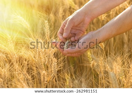 Wheat in hands, at the end of the day a farmer checks the wheat - stock photo