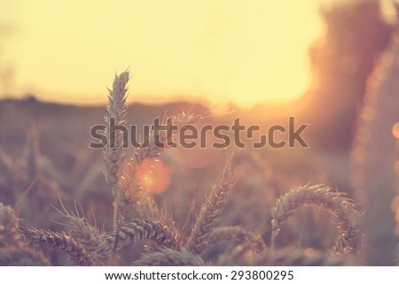 Wheat in summer sunset - stock photo