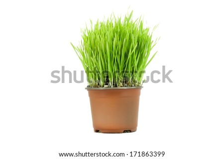 Wheat in the flowerpot