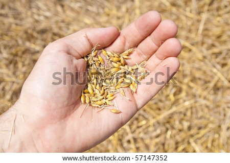 wheat in the hand over new harvest - stock photo