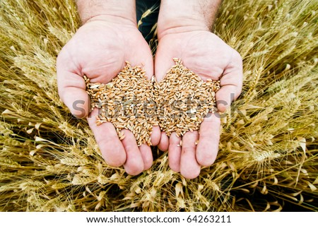 Wheat in the hands - stock photo
