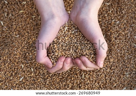 wheat in the hands of a heart-shaped - stock photo
