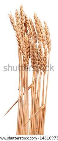 Wheat is one of the first cereals known to have been domesticated. - stock photo