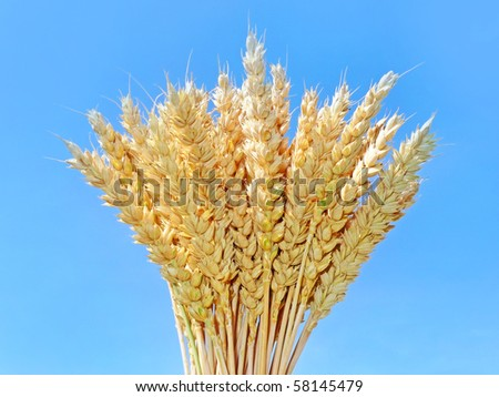 wheat isolated on blue