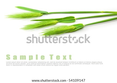 Wheat isolated on white with copy space - stock photo
