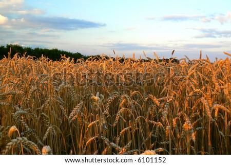Wheat landscape. - stock photo