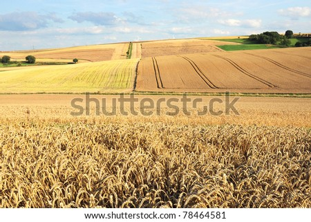 Wheat landscape panorama - stock photo