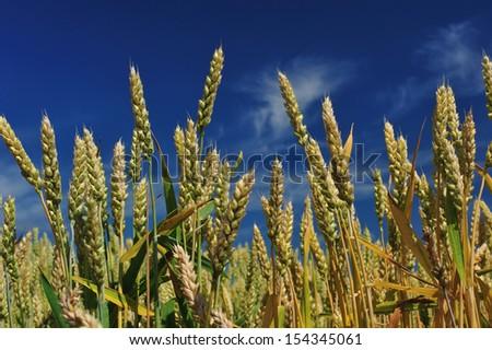 Wheat, north of Japan - stock photo