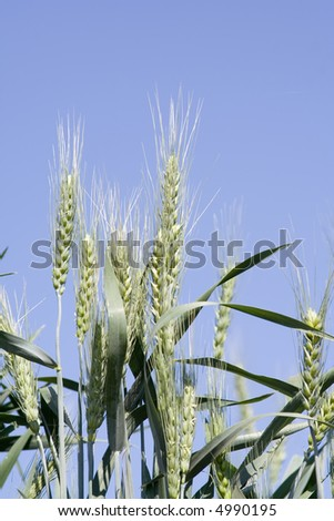 wheat not yet ready for harvest. - stock photo