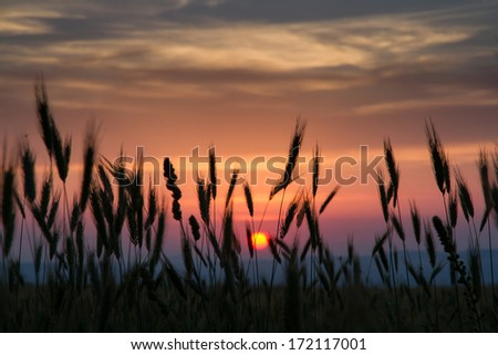 Wheat on a great summer sunset background - stock photo