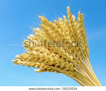 wheat on blue background