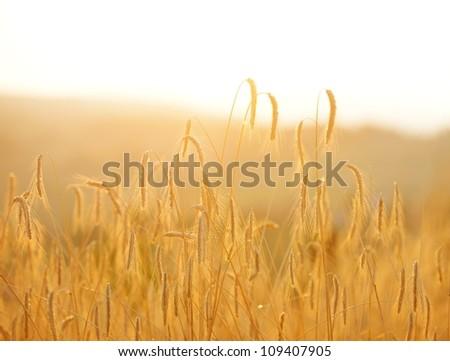 Wheat on field - stock photo