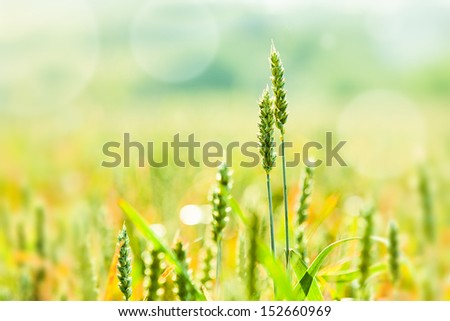 wheat on the field with bokeh on background