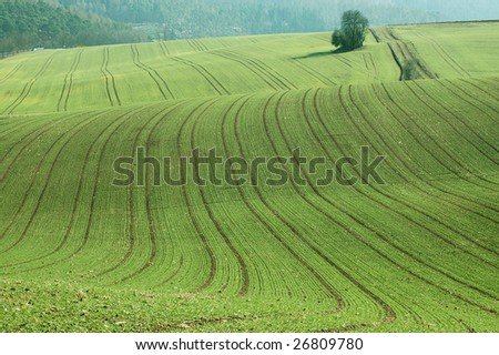 Wheat plantings on hilly field. - stock photo