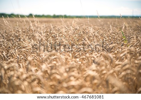 wheat plants on background blurred horizon