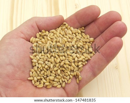 Wheat seed in hand