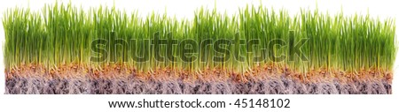 wheat seedlings - stock photo