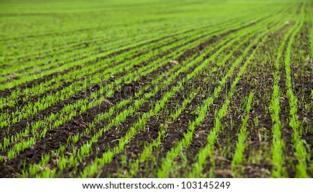 Wheat seedlings grown in the rural fields in early spring. The texture of the background