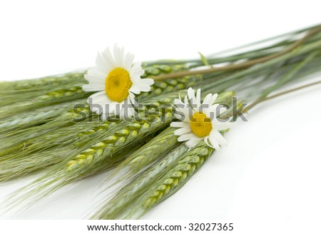Wheat selection, camomile on a white background - stock photo