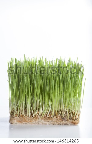 Wheat shoots with water drops on white background. - stock photo
