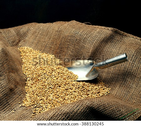 wheat sowing seed and metal spoon close up  - stock photo