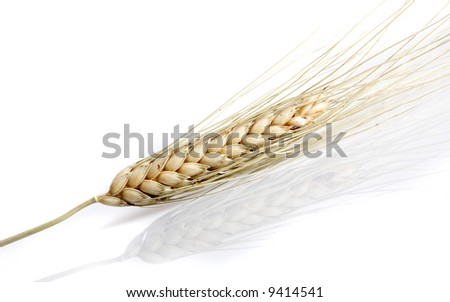 Wheat spike closeup, isolated on white with a slight reflection beneath