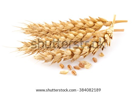 Wheat spikes in closeup