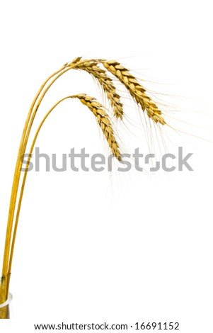 Wheat spikes, isolated, on white background - stock photo