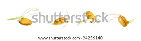 Wheat sprouts isolated on white background. - stock photo