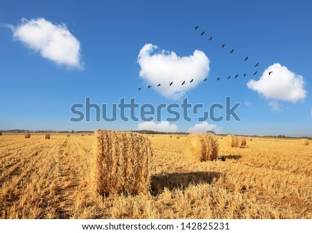 Wheat stacks beautifully and symmetrically stand in rows. Triangular bird flock flying over the field after harvest. - stock photo