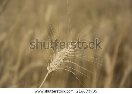 Wheat stalk in a wheat field in Punjab, India - stock photo