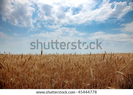 Wheat stalk on blue sky