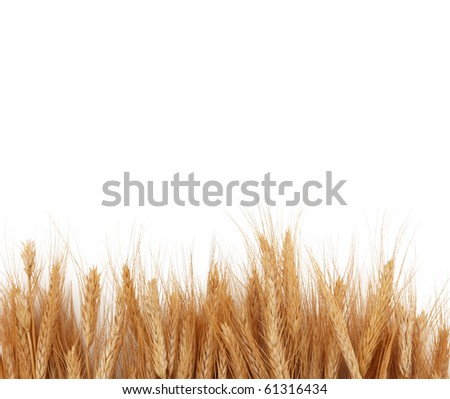 Wheat Stalks Creating Boarder Over White - stock photo