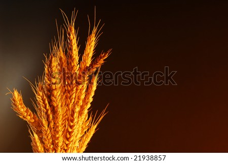 Wheat with copy space over dark background stock photo