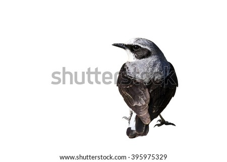 Wheatear isolated on white background Black-eared Wheatear / Oenanthe hispanica
