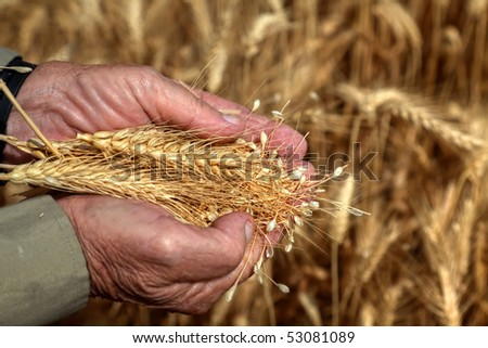 Wheaten ears on a farmer palms on the background's of the wheat field - stock photo