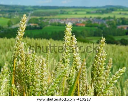 Wheatfield in Limburg, the Netherlands - stock photo