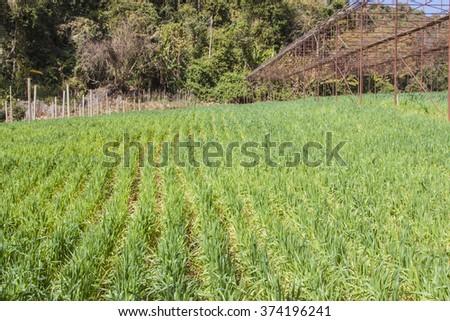 Wheatgrass Farm - stock photo