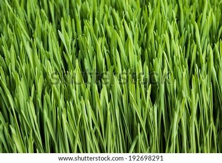 Wheatgrass for sale at local farm market. - stock photo