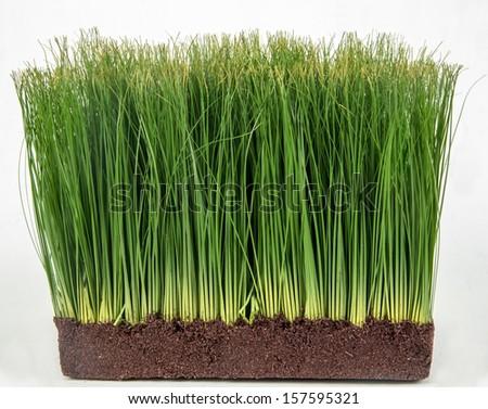 Wheatgrass /green Wheat grass - stock photo