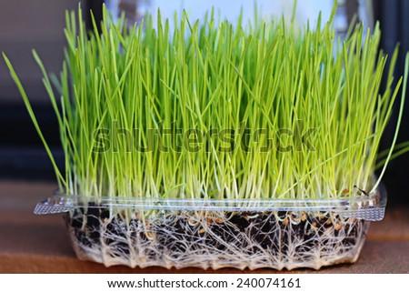 wheatgrass growing - stock photo