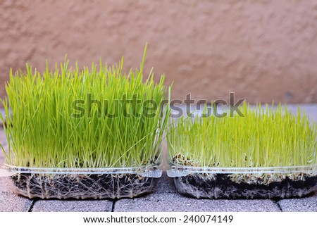 wheatgrass growing stages - stock photo
