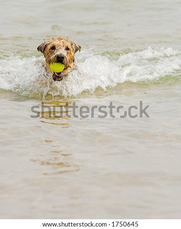 wheaton terrier running in water with ball in mouth - stock photo
