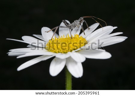 Wheel Bug nymph on a daisy - stock photo