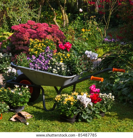 Wheelbarrow and trays with new plants - preparing for planting new plants in the garden on early September morning - square image - stock photo