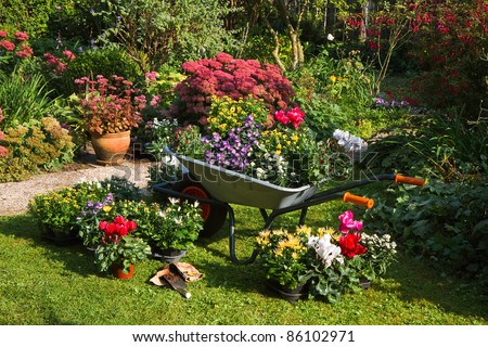 Wheelbarrow and trays with new plants - preparing for planting new plants in the garden on early September morning - stock photo
